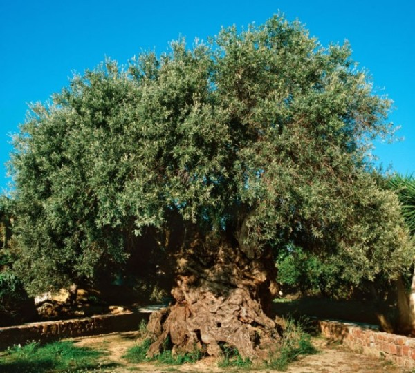 3,000 year-old olive tree in Crete